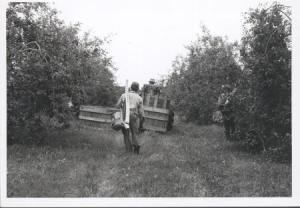 workers-in-an-orchard